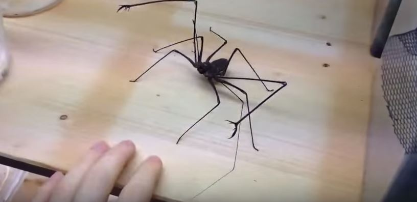 Have You Ever Seen a Whip Spider? This Thing Will Haunt Your Dreams!