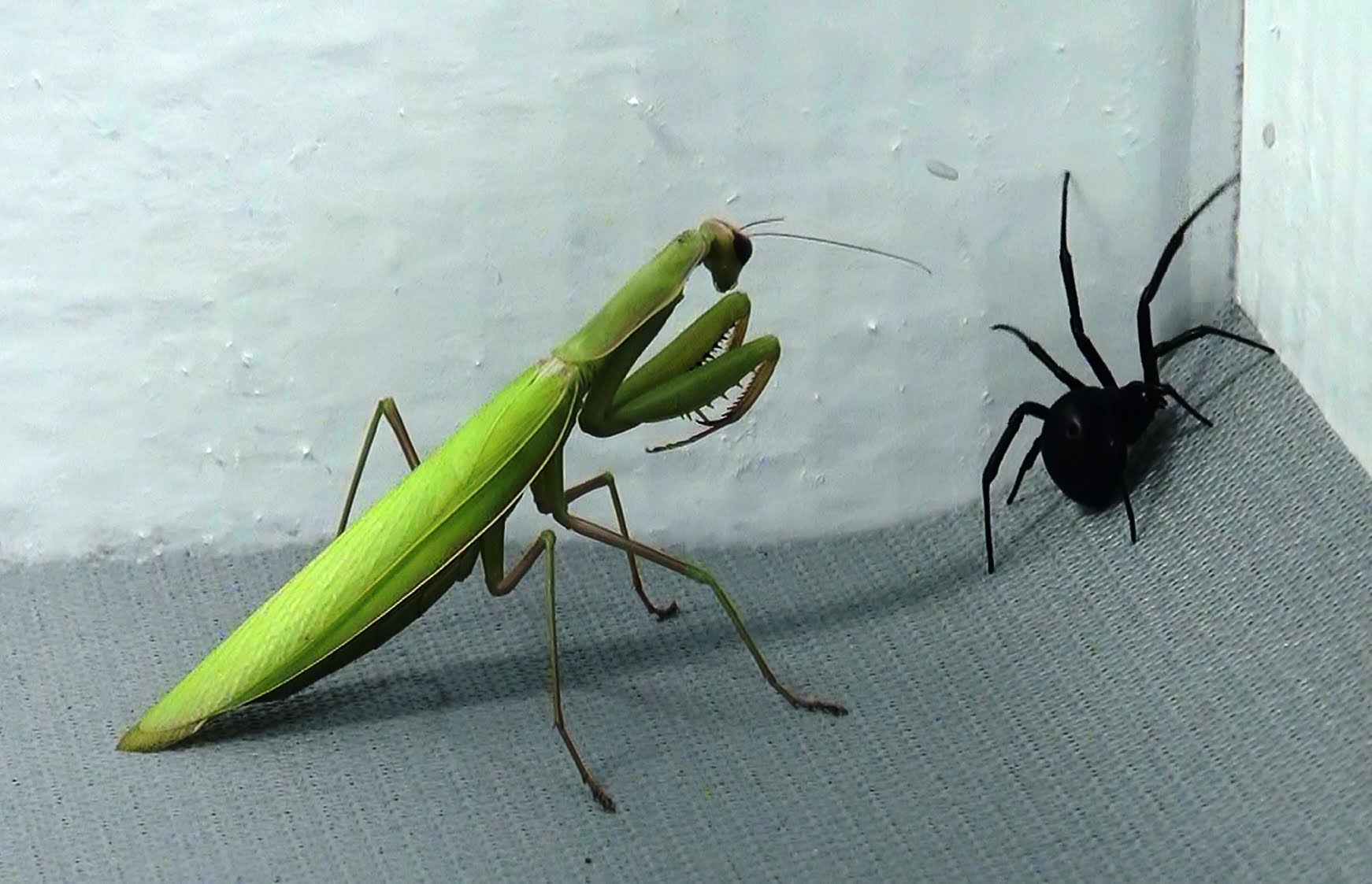 Aninimal Book: Black Widow vs Praying Mantis -- Which One Do You Think ...